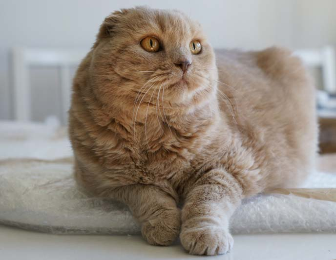 overweight breed cat