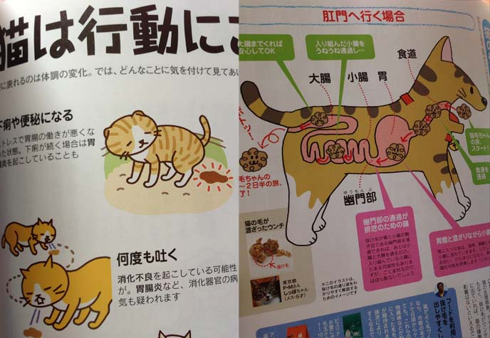 cat health digestion diagram