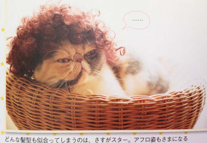exotic shorthair cat in wig