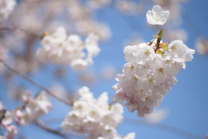white pink cherry blossoms flowers