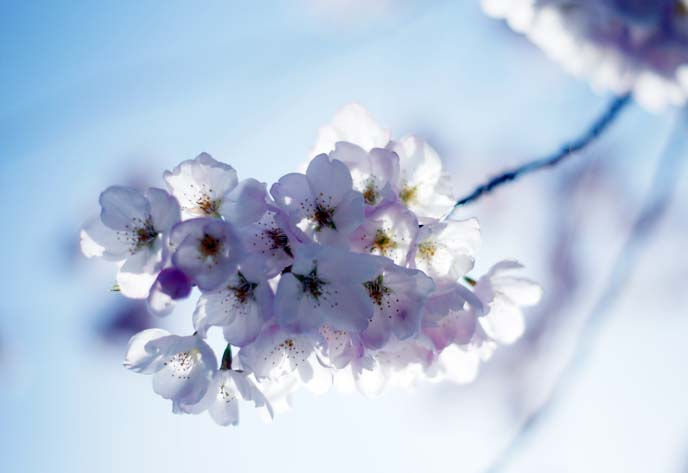 macro close up sakura