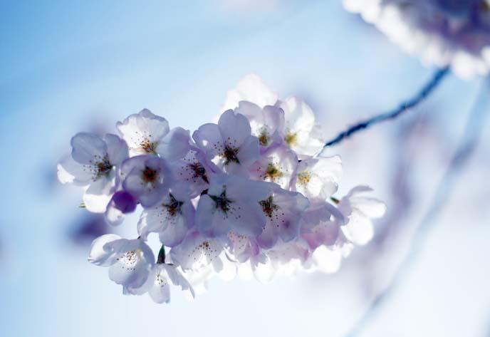 macro close up sakura