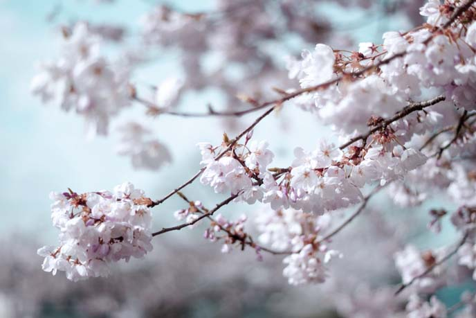 sakura branches, cherry blossoms blooming