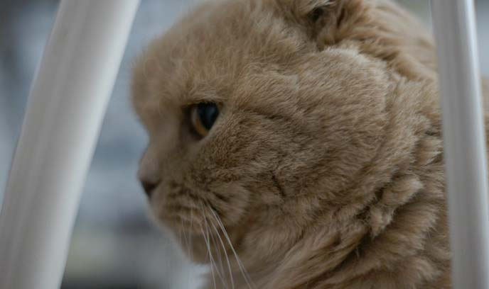 nose profile, scottish fold cat