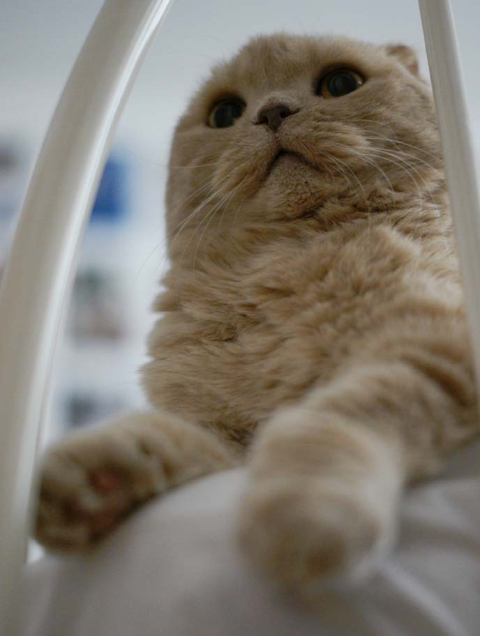 scottishfold baby kitten