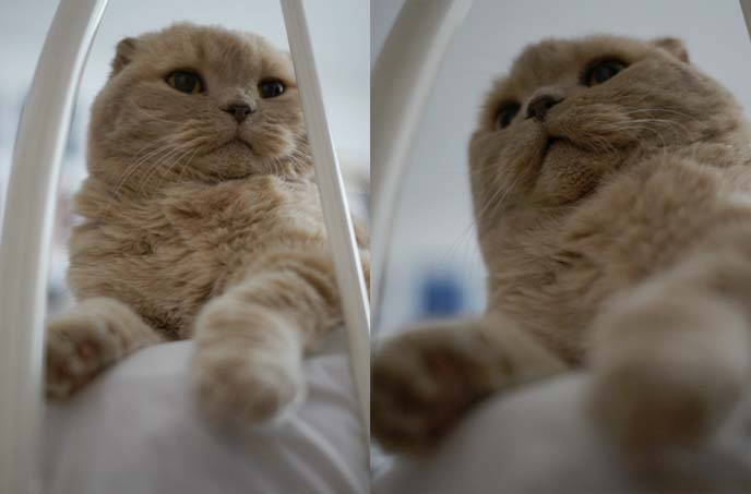 scottish fold dangling paws