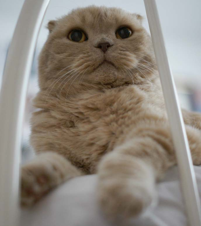scottish fold fat cat