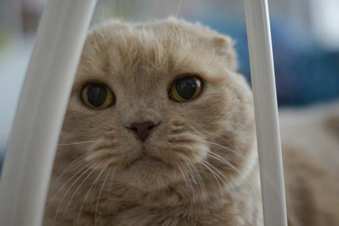 ronan farrow pet scottish fold