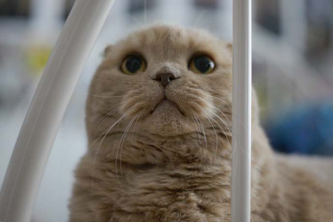 scottish fold kitten looking up