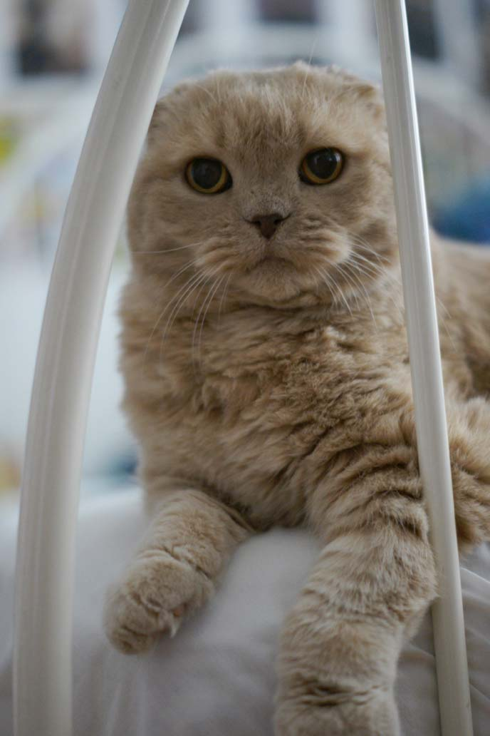 show standard scottish fold breed