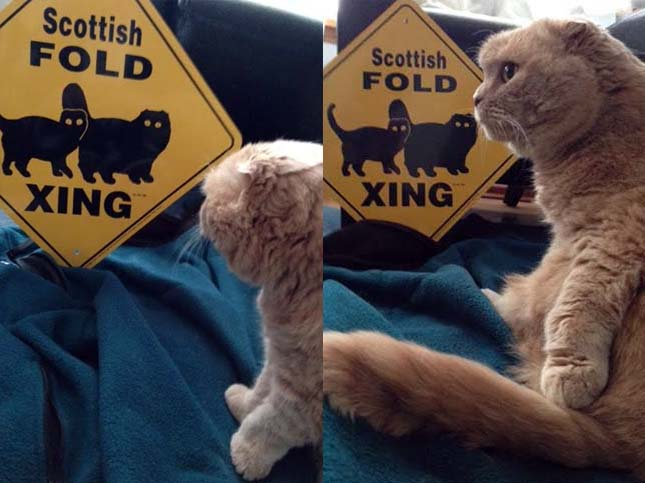 scottish fold cat x-ing sign