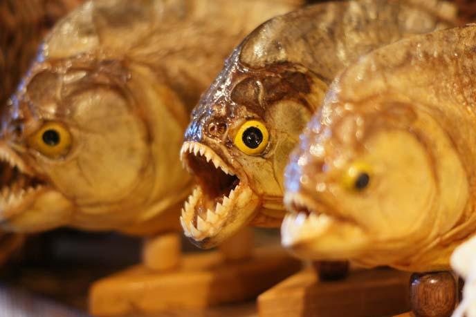 stuffed piranhas