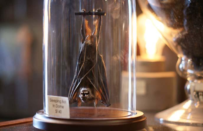 taxidermy bat in glass