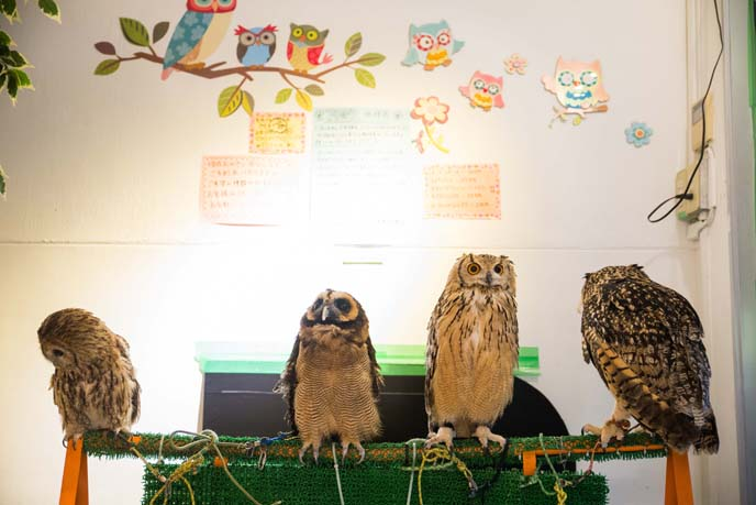 pet owls japan cafe