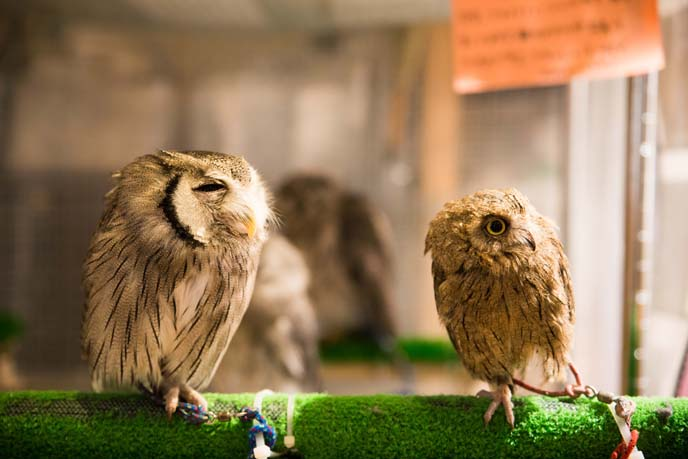 cute small owls