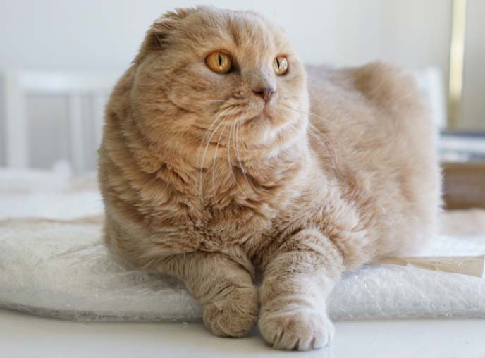 scottish fold cat big eyes