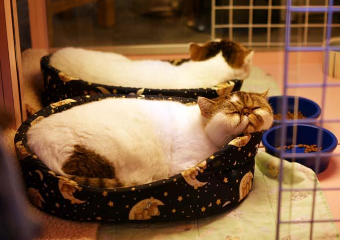 smoosh faced exotic shorthair cat
