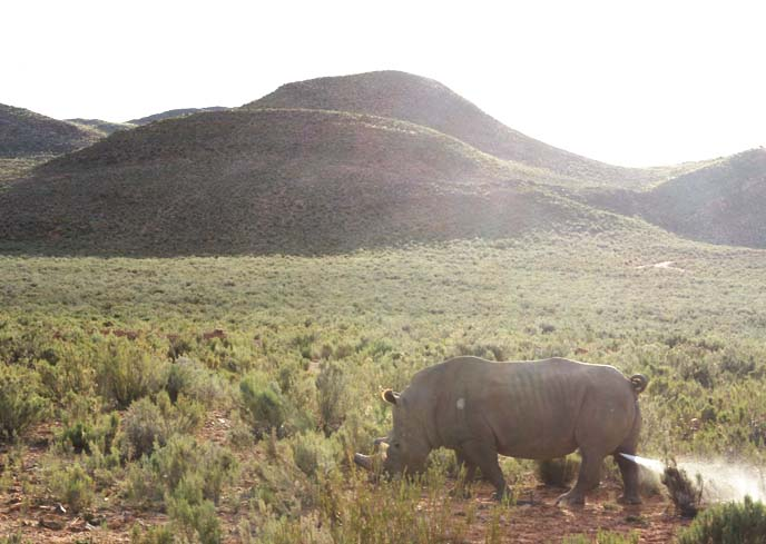 rhinoceros peeing