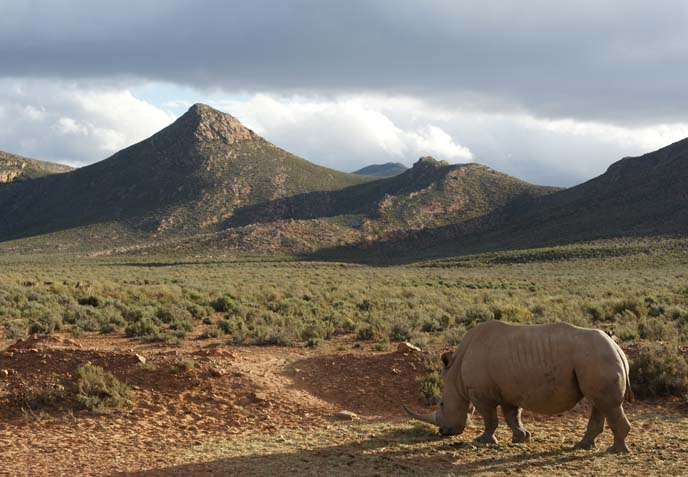 rhino african savannah
