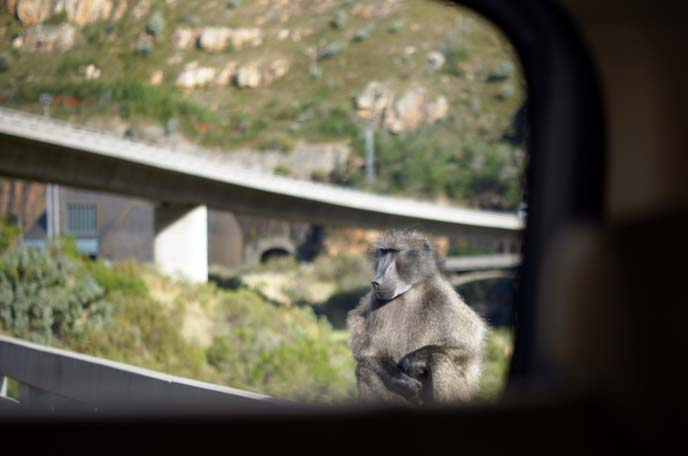 south african baboon monkey