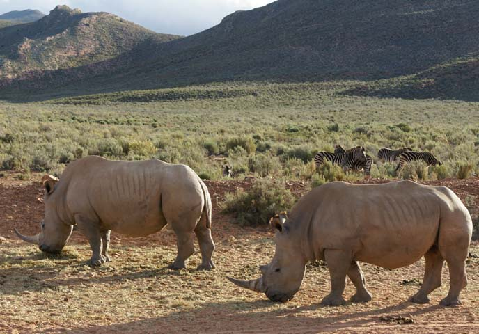 aquila private game reserve, rhinos grazing
