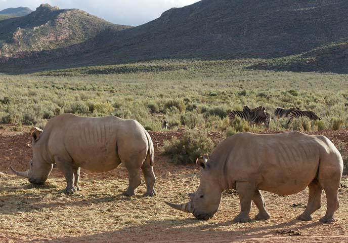 aquila private game reserve, rhinos grazing