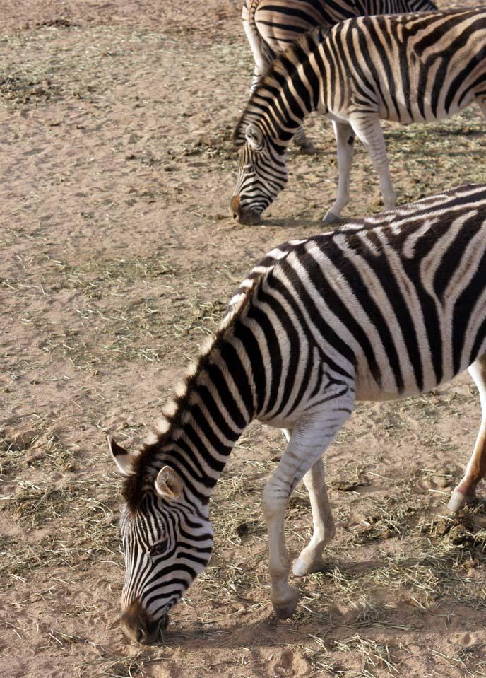 three zebras grazing
