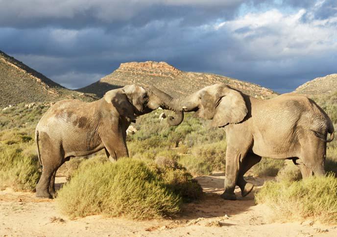 two elephants locking trunks