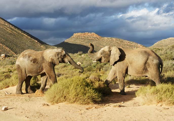 elephants playing on safari