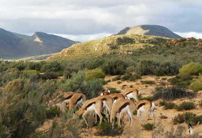 group of springbok