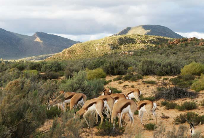 group of springbok
