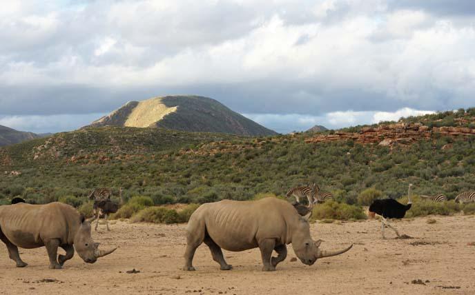 big 5 safari animals, rhino