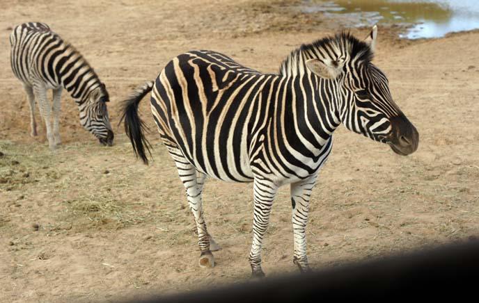 cute zebra baby