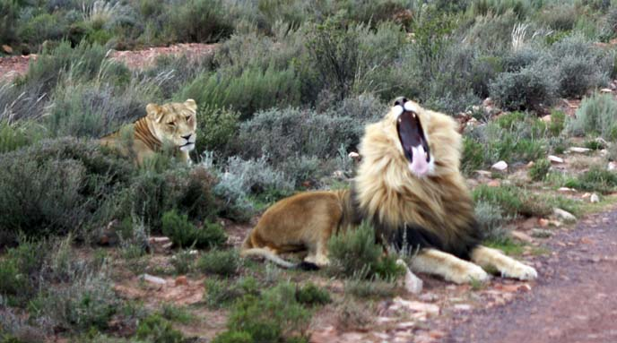 yawning lion, south africa safari