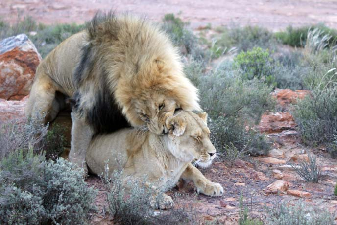 male female lion mating