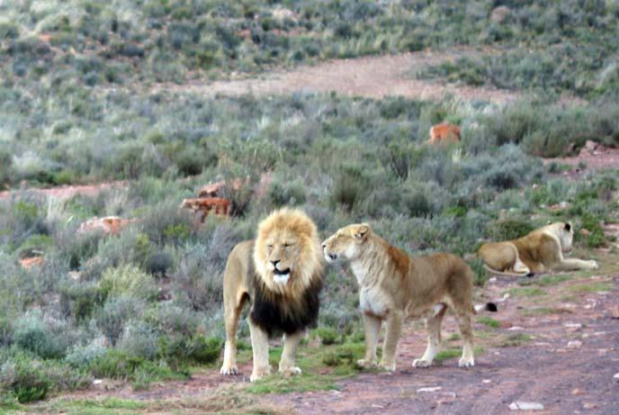 lions kissing