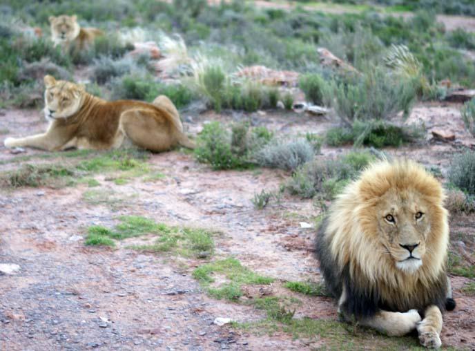 south africa lion park