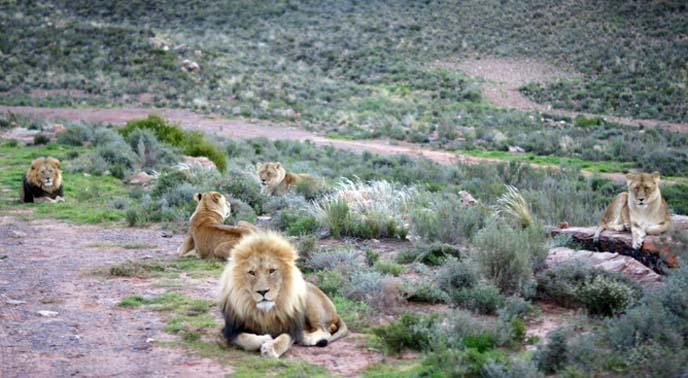 lion tribe, pride