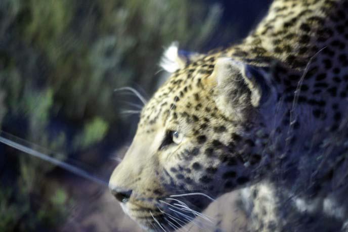 leopard at night
