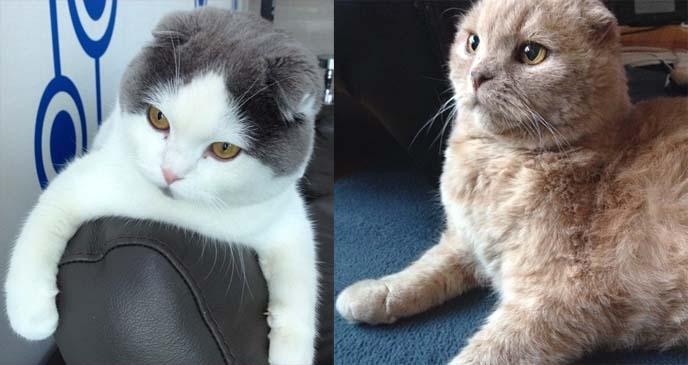 dr meemersworth, meemers scottish fold cat