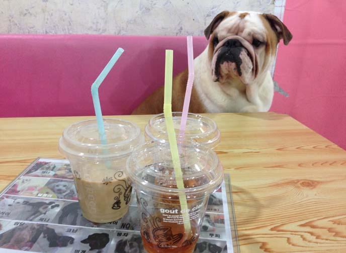 bulldog, seoul dog cafe