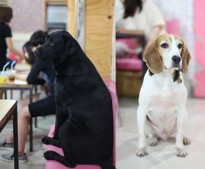 korean dogs, dog restaurants