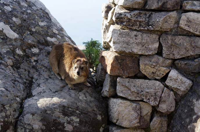 dassie rat, Rock hyrax