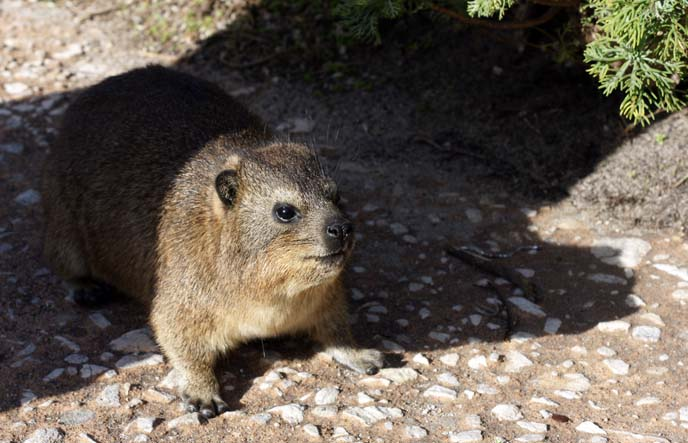 south african rat, dassie