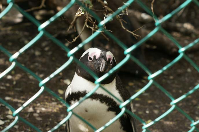 south african penguin breed
