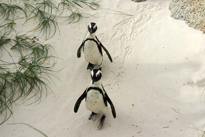african penguins couple