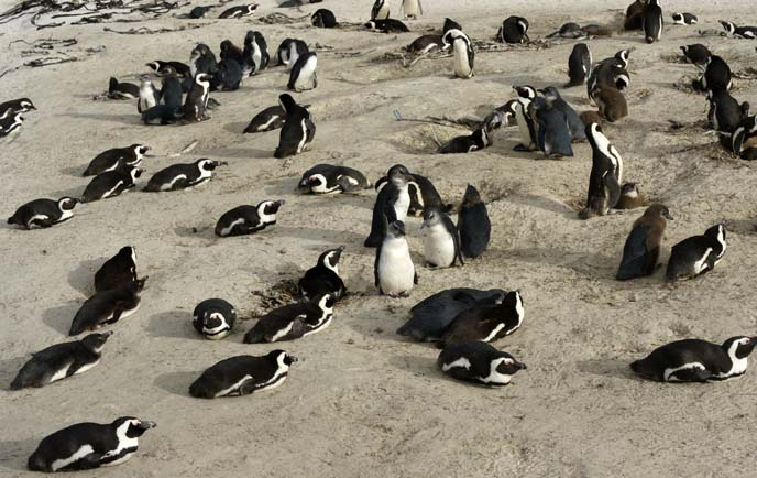 penguins on south africa beach