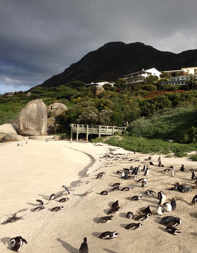 cape point penguins beach