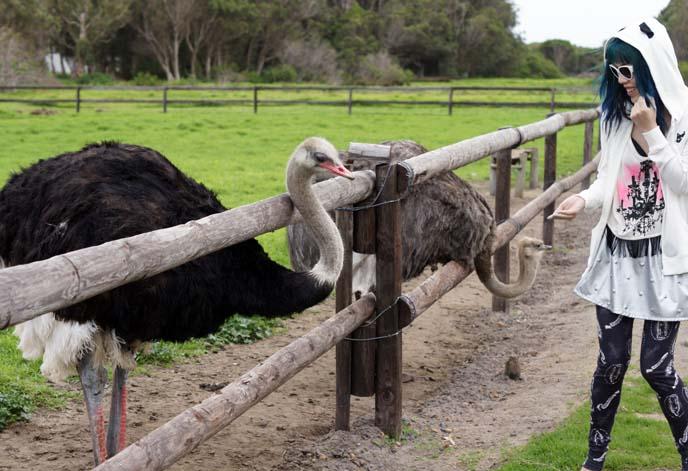 feeding ostrich, biting