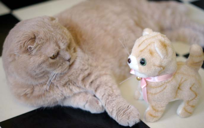 scottish fold toy, clone